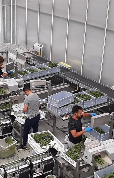 cannabis trimming machines