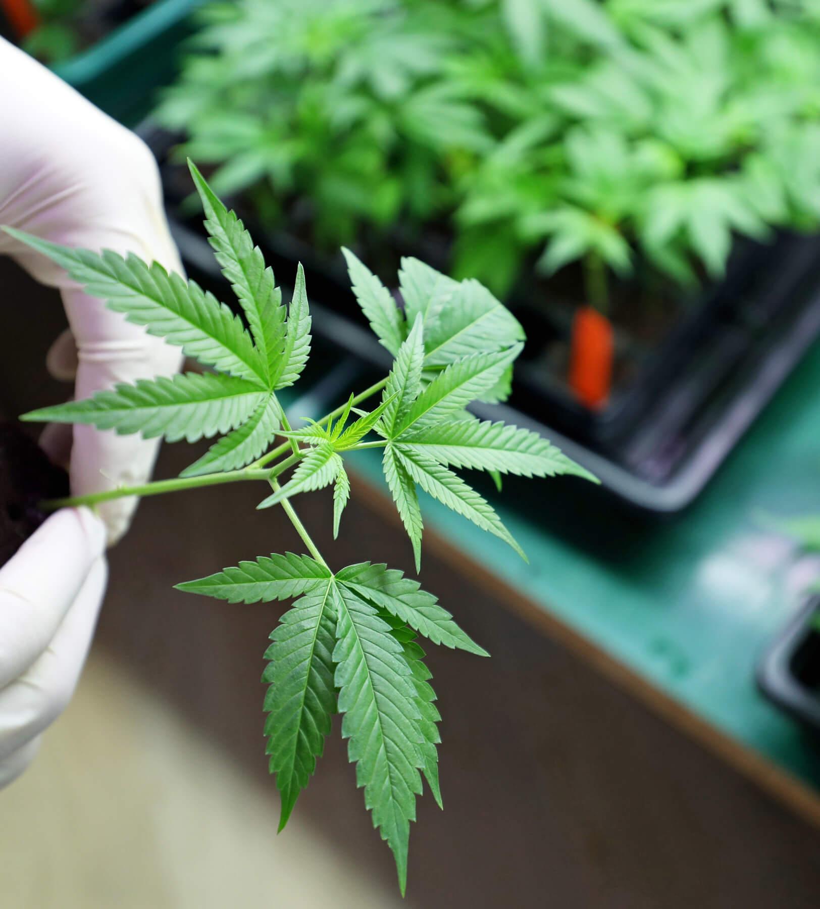 cannabis tissue culture
