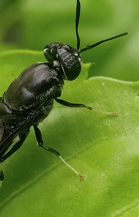 black soldier fly (BSF), insect farming