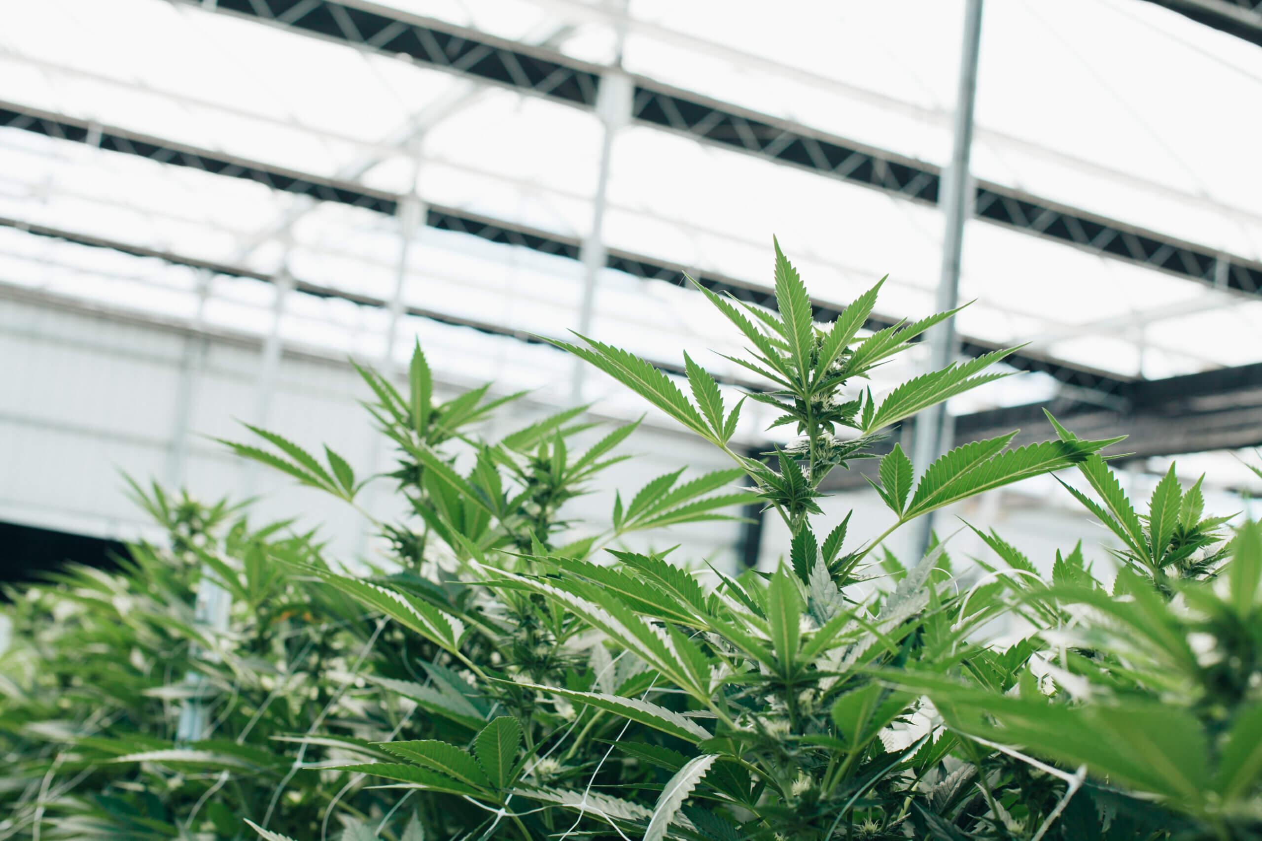 cannabis farming