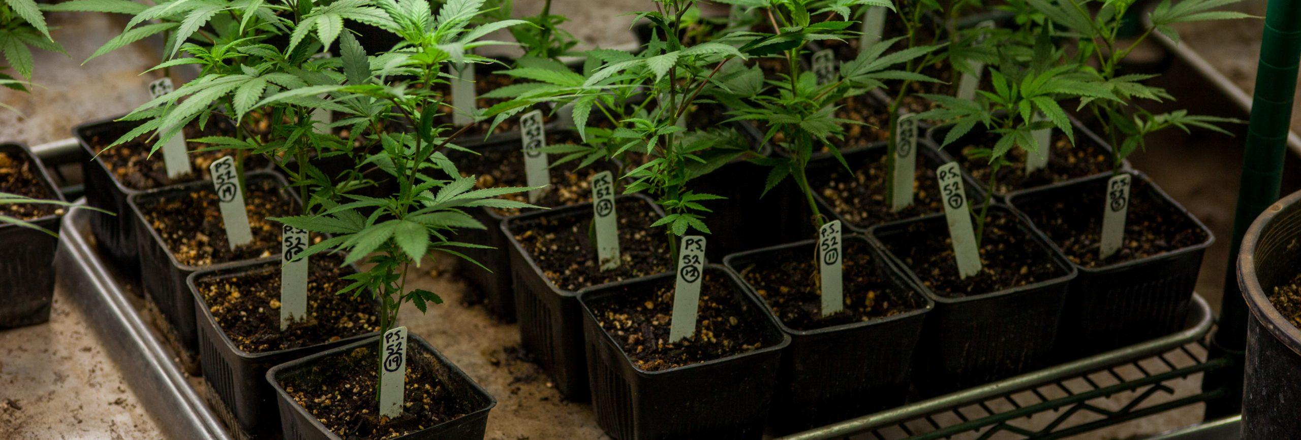 Medicinal crops