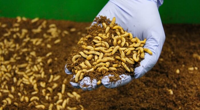 Mealworms for feed and food purpose